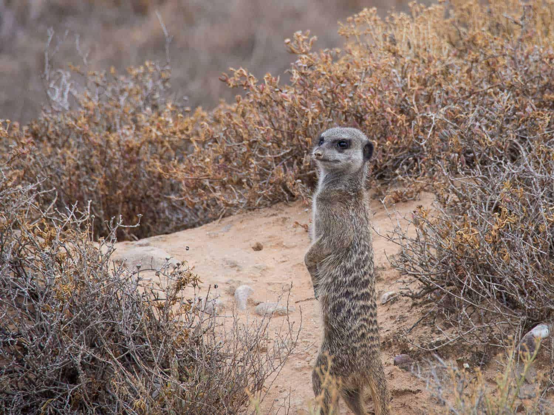Meerkat Adventures tour - one of the best things to do in Oudtshoorn, South Africa