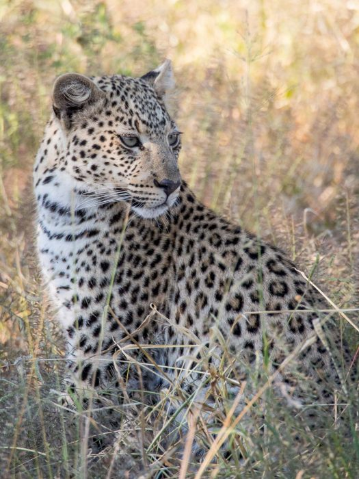 A young leopard at Ononjima Nature Reserve on safari in Namibia
