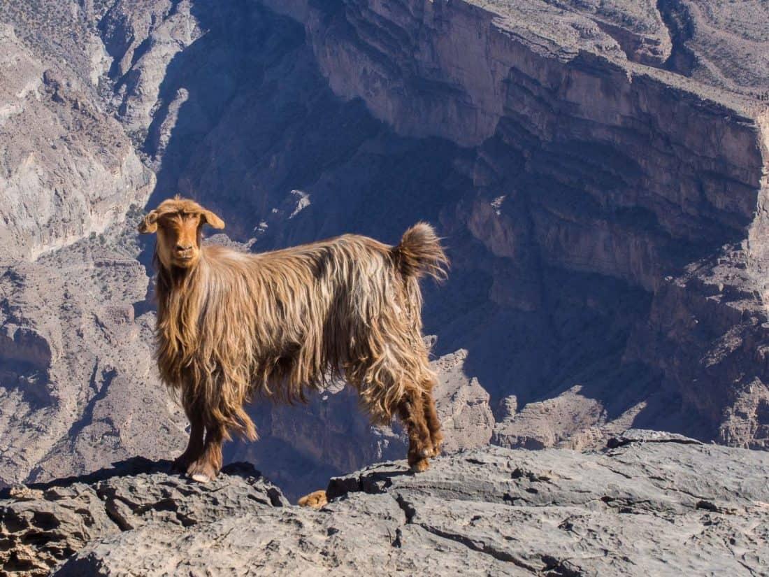 Goat at Jebel Shams, Oman