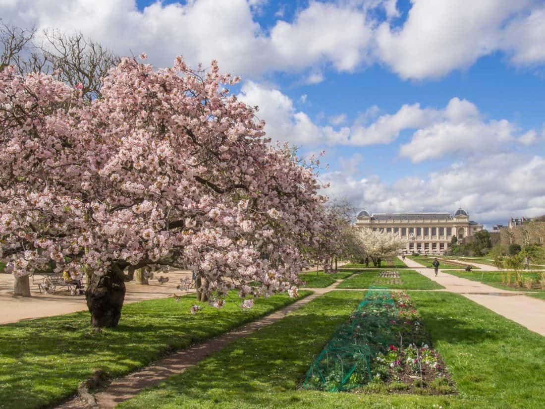 Cherry blossoms in Jardin des Plantes, a stop on our one day in Paris itinerary