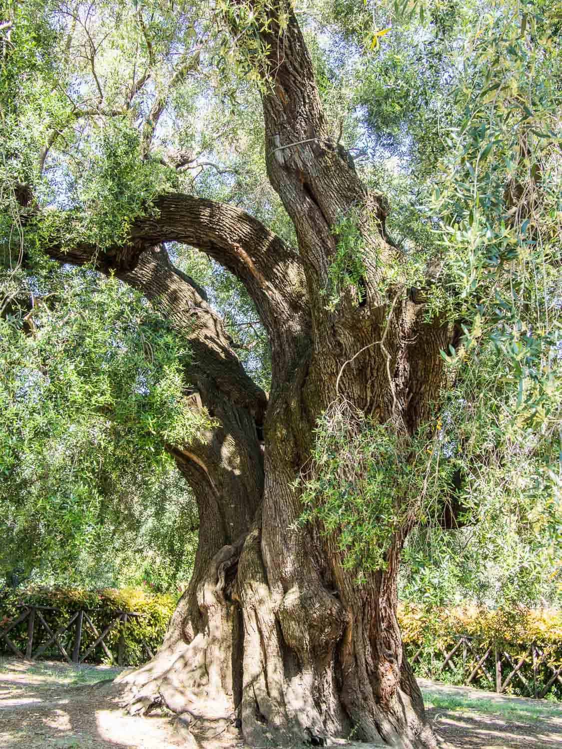 2000 year old olive tree on an olive oil tour from Rome
