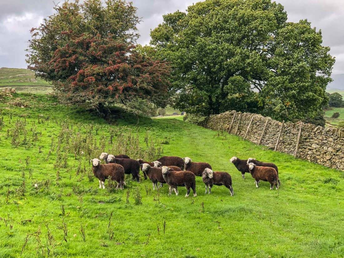 Brown sheep on the Dales Way
