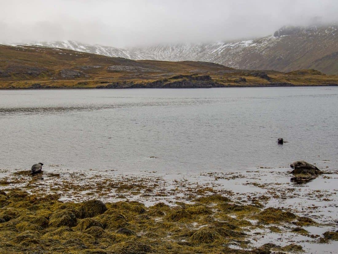 Seals on the Strandir Coast in Westfjords, Iceland