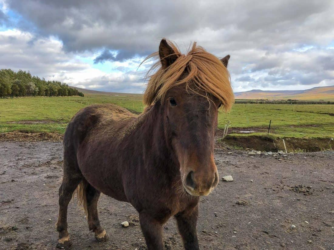 Icelandic horse at Sturlureykir Horse Farm in West Iceland