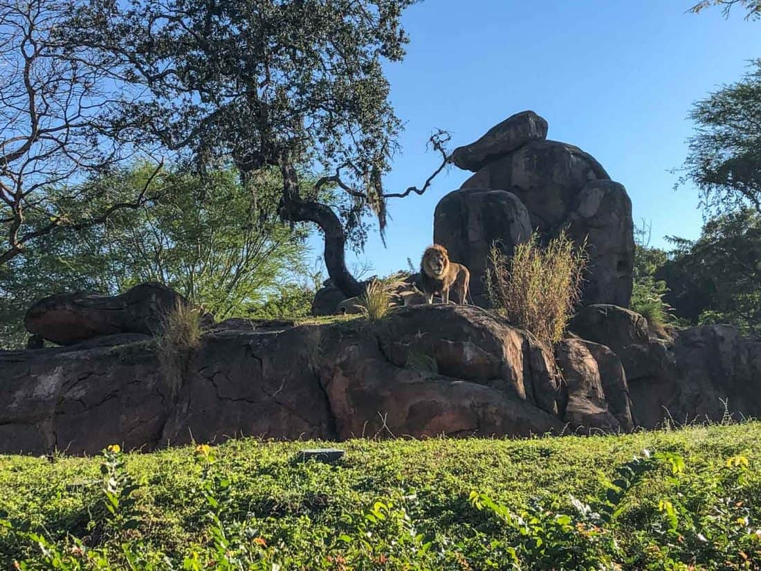 Seeing a lion on Kilimanjaro Safari, one of the best things to do at Disney World Orlando