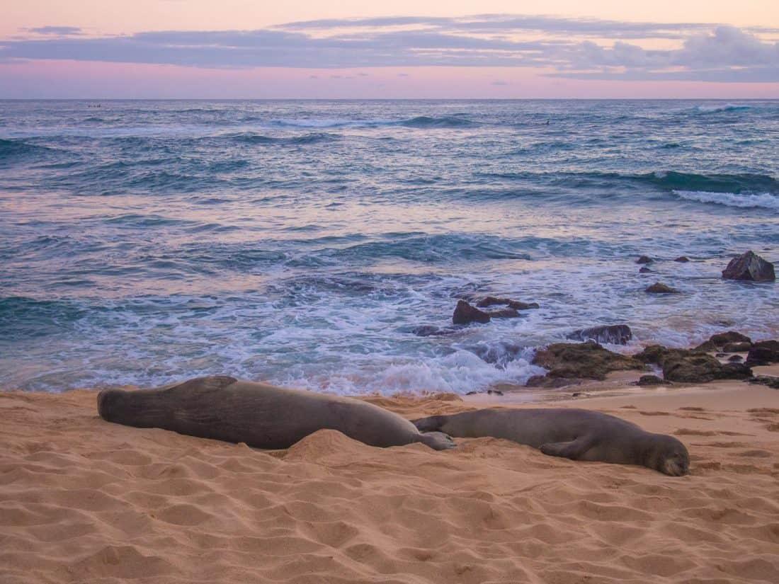 Seals on Poipu Beach in Kauai
