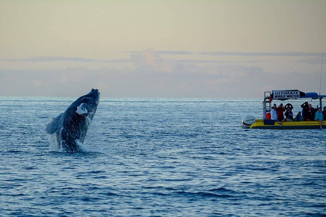Whale breaching in Maui on our Makai Adventures boat trip. Photo by Jill Niederberger.