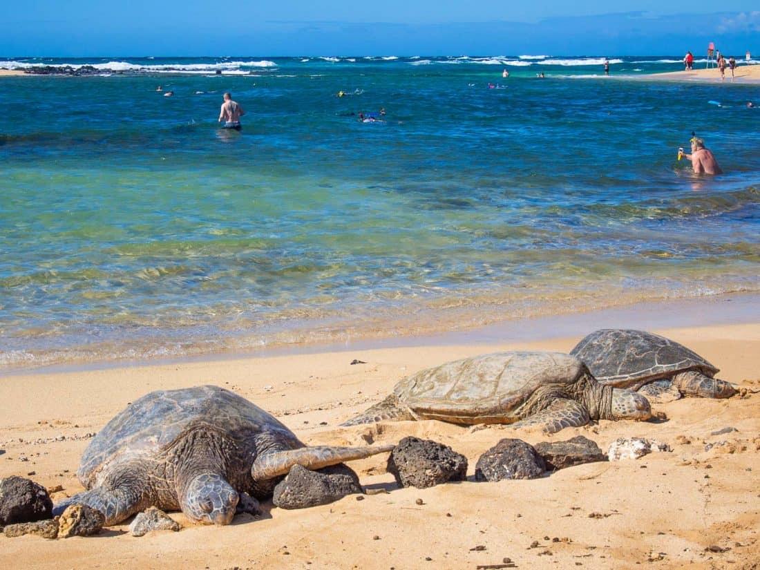 Green Sea Turtles at Poipu on the south coast of Kauai