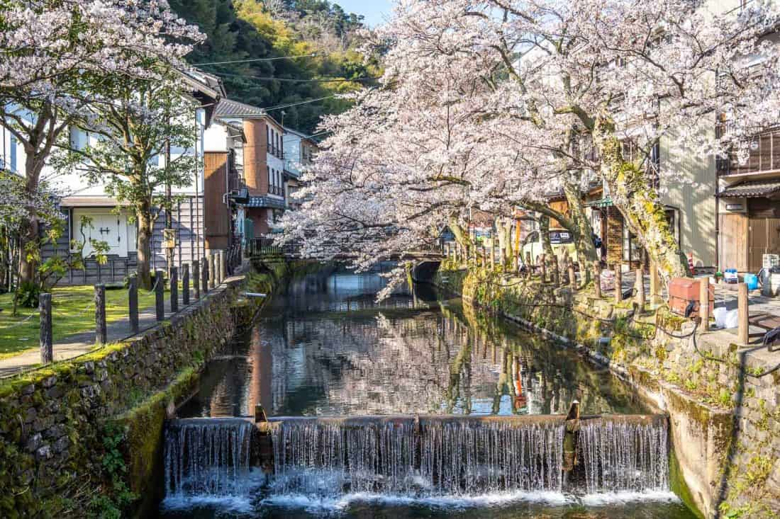 Cherry blossoms along the canal in Kinosaki Onsen, Japan