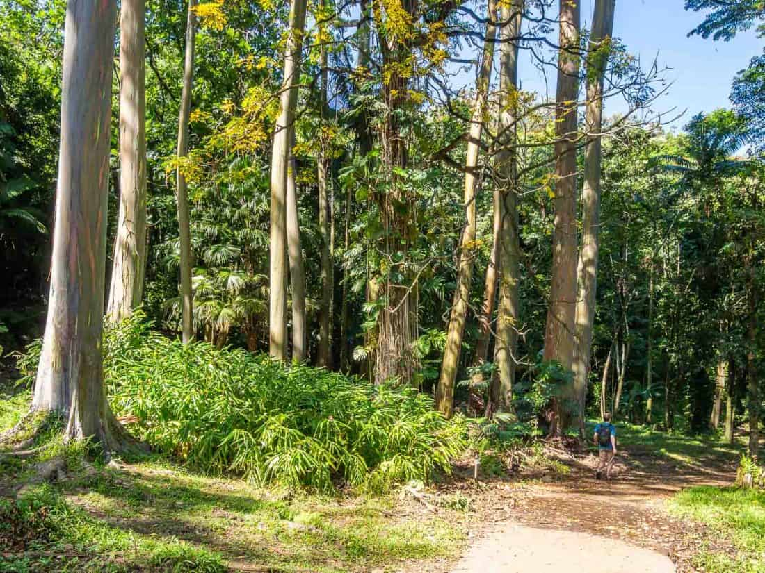 Rainbow eucalyptus trees in the Ke'anae Arboretum on the Road to Hana, Maui