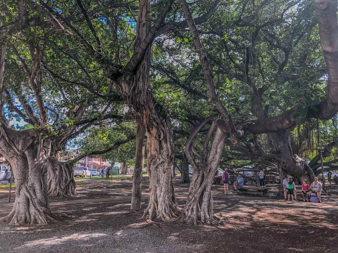 Lahaina banyan tree in Maui
