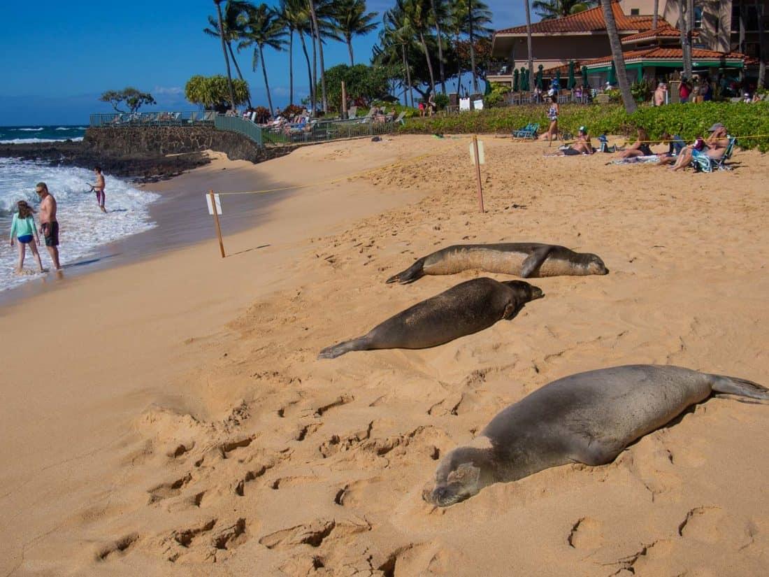 Monk seals on Poipu Beach on Kauai, Hawaii