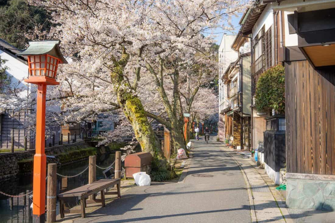 Cherry blossoms by the canal in Kinosaki Onsen, Japan