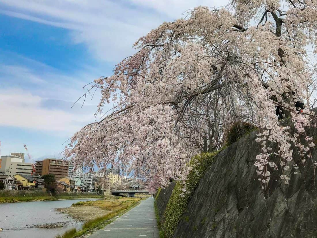 Cherry blossoms in Kyoto along the banks of the Kamogawa River