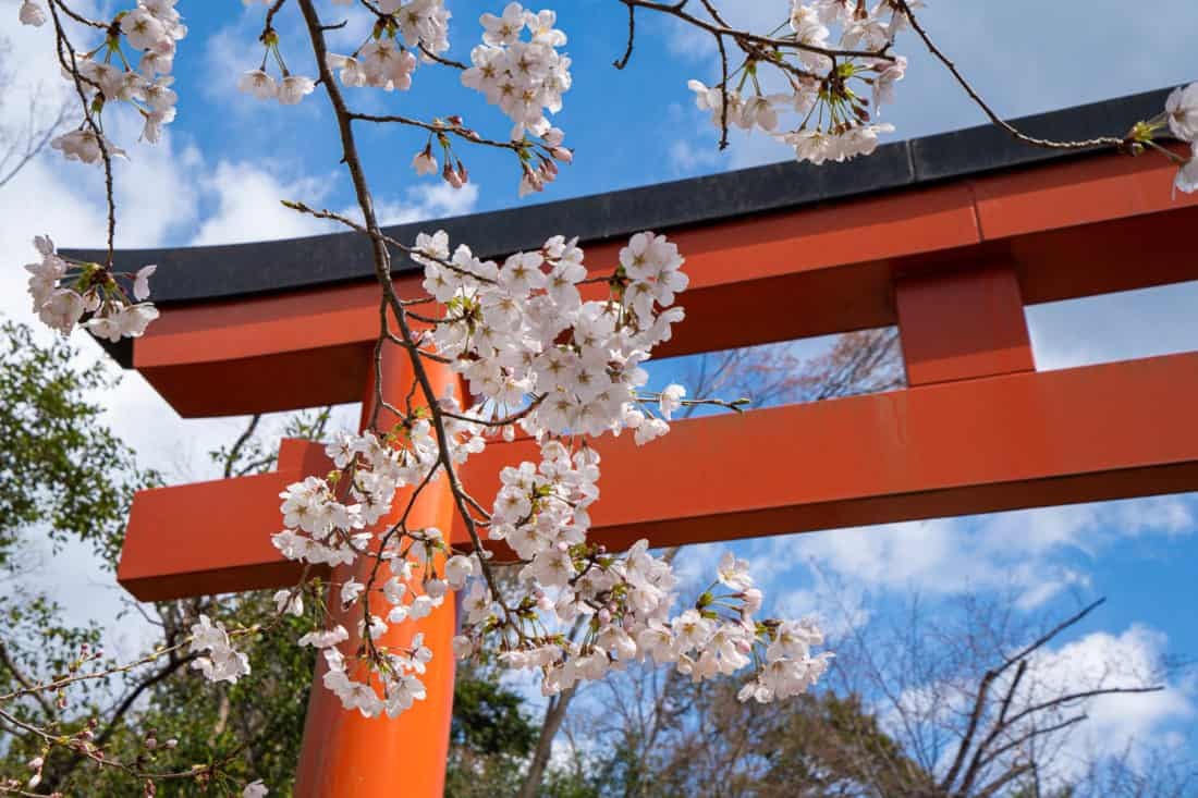 Torri gate and cherry blossoms at Takenaka Inari Shrine