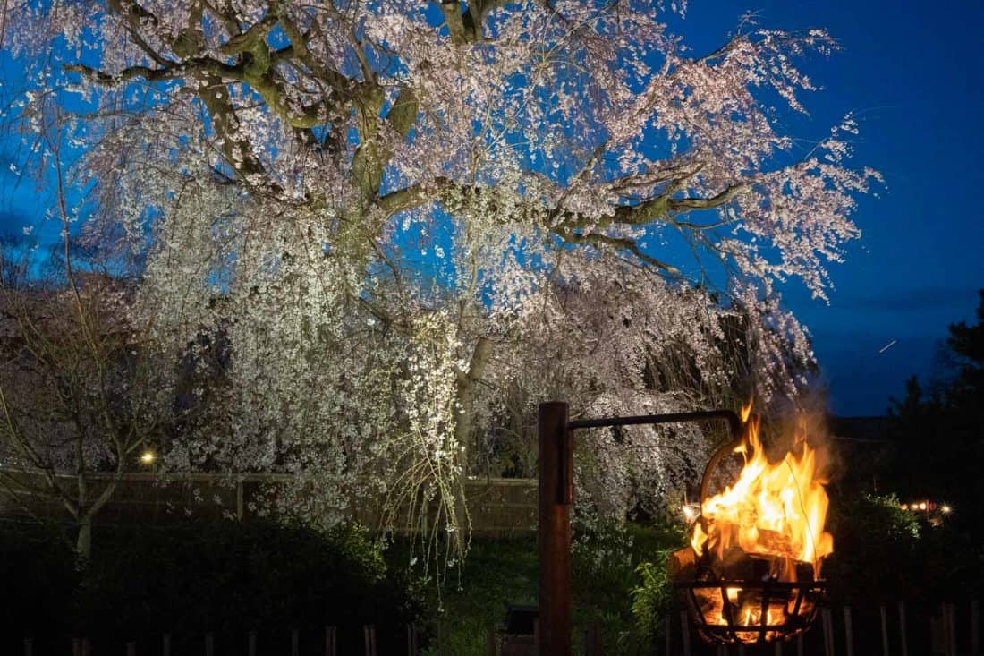 Weeping cherry tree at night with fire lantern in Maruyama Park, Kyoto