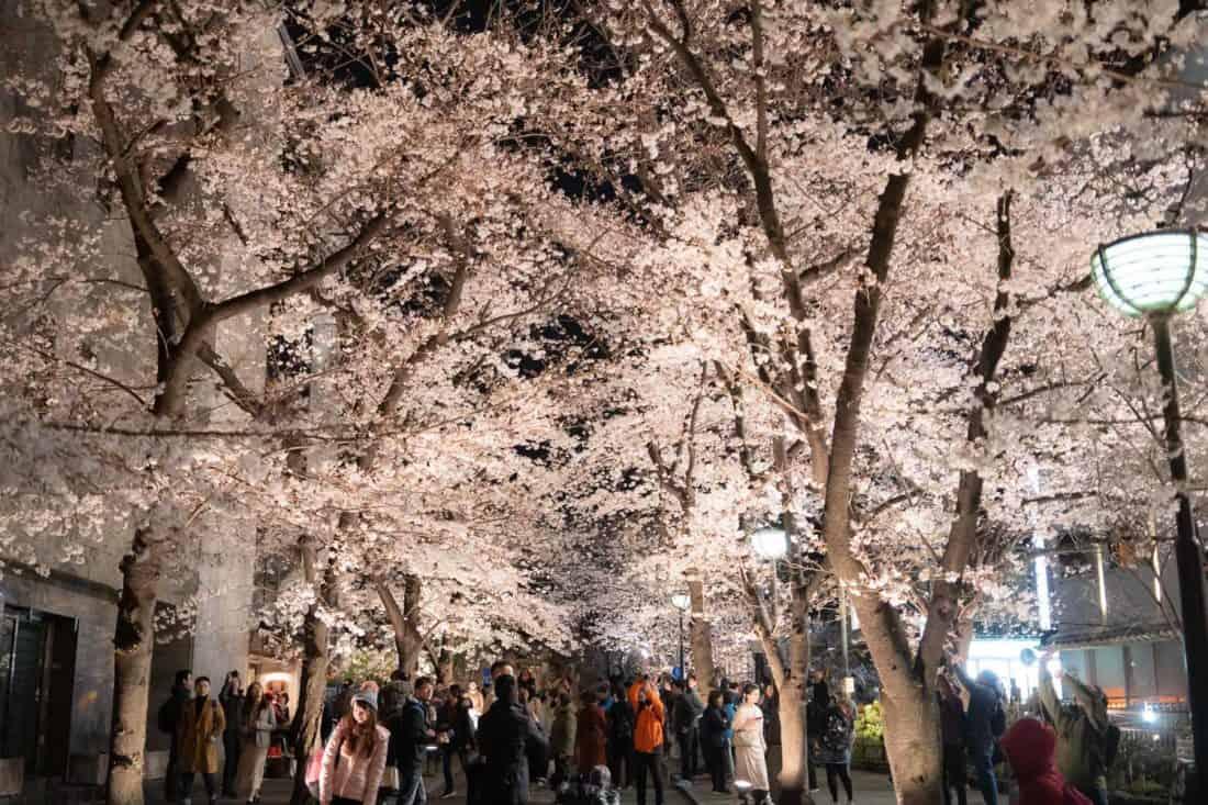 Cherry blossoms by Shirakawa Canal in Gion, Kyoto at night