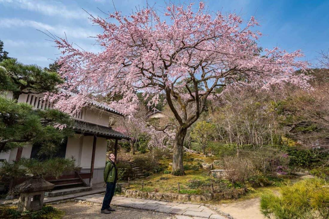 Weeping cherry tree at Jojakko-ji Temple in Arashiyama, Kyoto