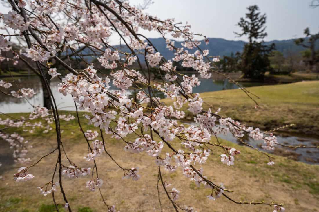 Cherry blossoms by the Daikaku-ji Temple pond in Arashiyama, Kyoto