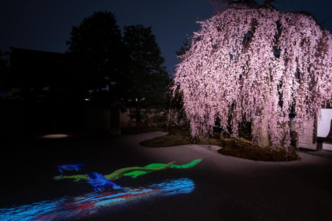 Weeping cherry tree in the gravel garden at the night illuminations at Kodai-ji temple in Kyoto