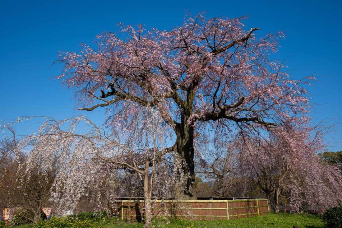 Weeping cherry tree at Maruyama Park, Kyoto