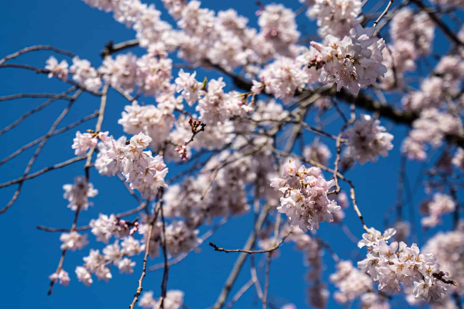 The best places to see the Kyoto cherry blossoms in Japan