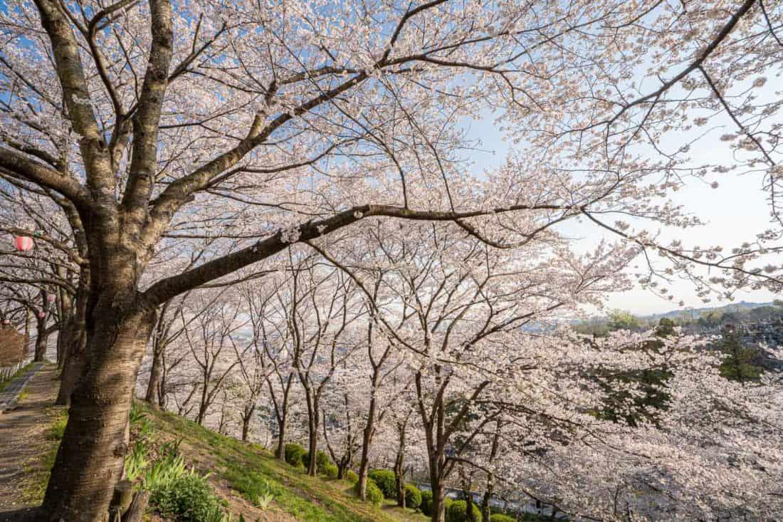 Cherry blossoms (sakura) at Okayama City Handayama Botanical Gardens