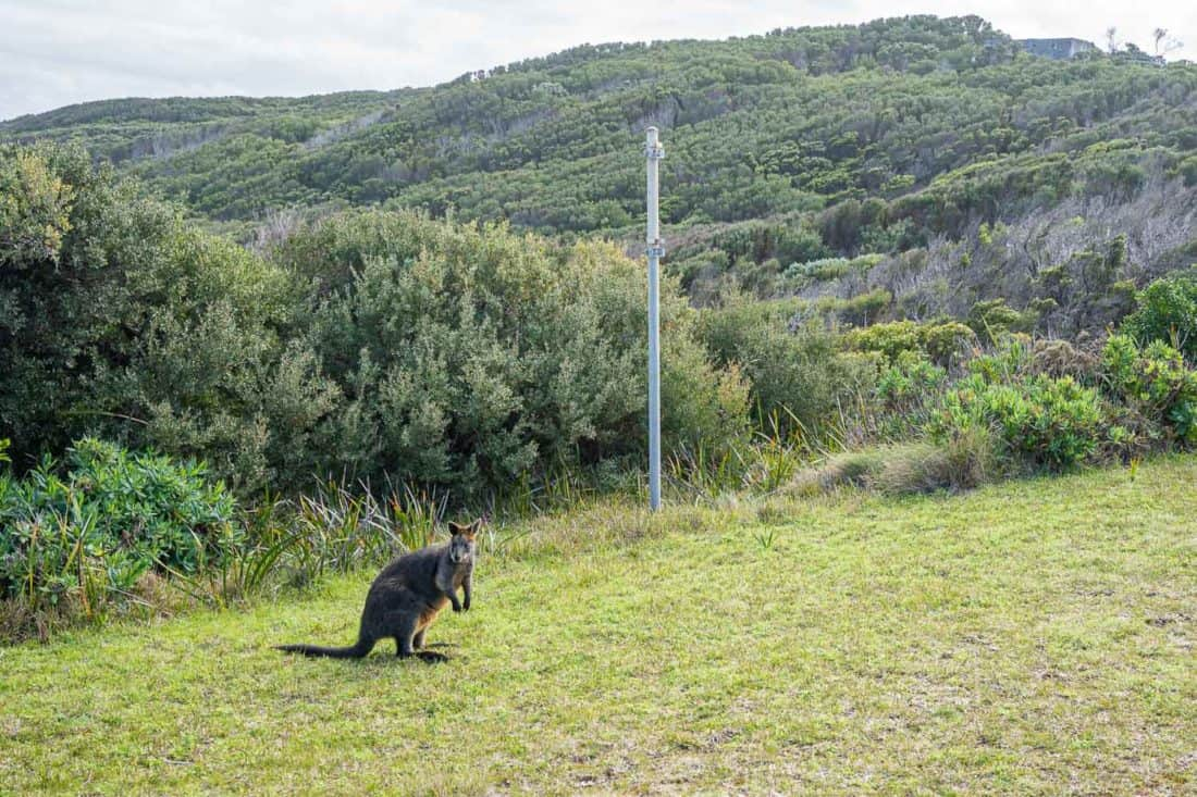 Wallaby at the Cape Otway Lightstation