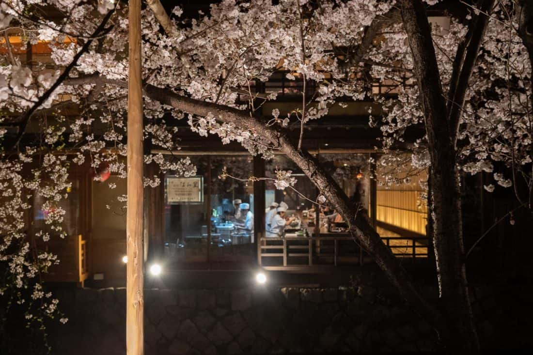 Cherry blossoms on the Shirakawa Canal in Gion