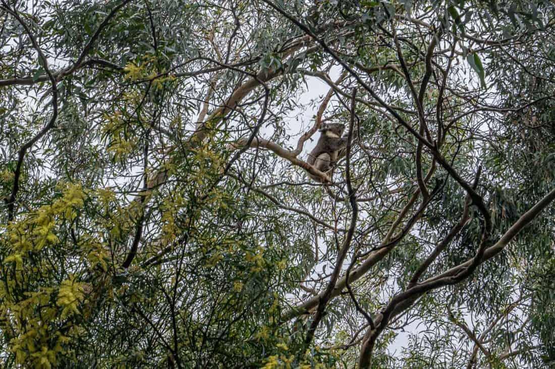 Koala in a tree on Grey River Road in Kennett River