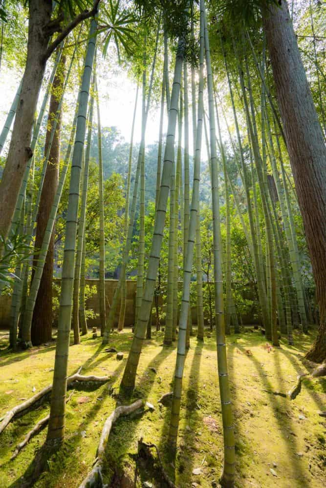 Bamboo at Tenjuan in Nanzenji, Kyoto