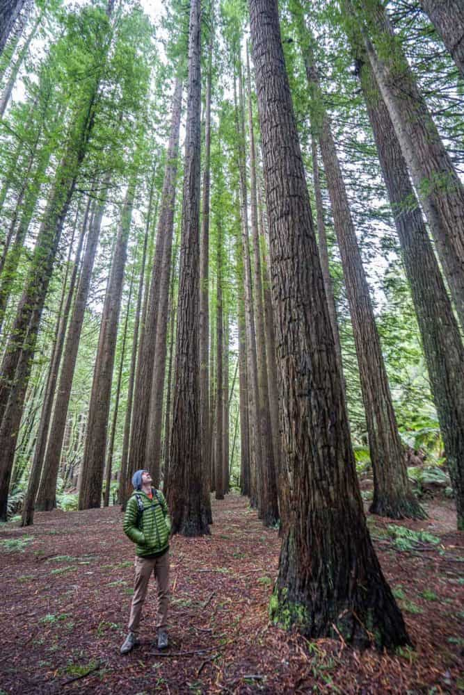 Californian Redwood Forest in Otway National Park, Victoria, Australia