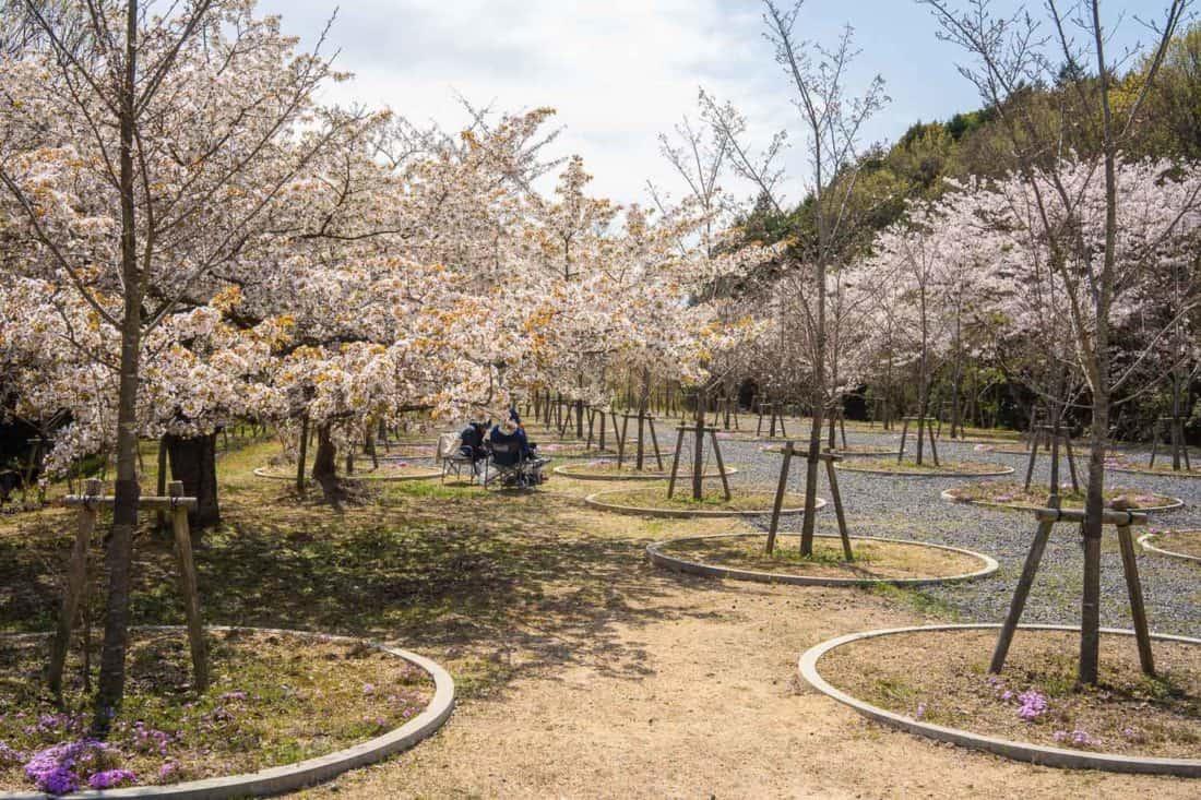 Cherry Blossom Labyrinth on Naoshima Island