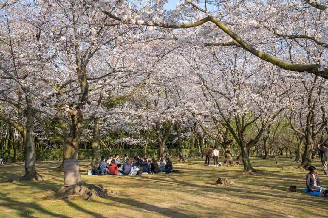 Cherry blossom grove in Okayama Korakuen Garden