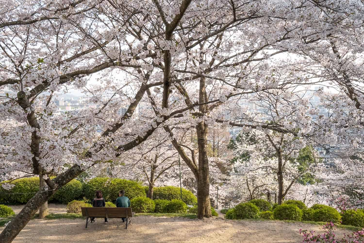 Cherry blossoms at Handayama Botanical Garden, one of the best things to do in Okayama Japan