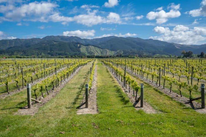 A vineyard in Marlborough, New Zealand - this guide has the best tips for exploring the Marlborough wineries