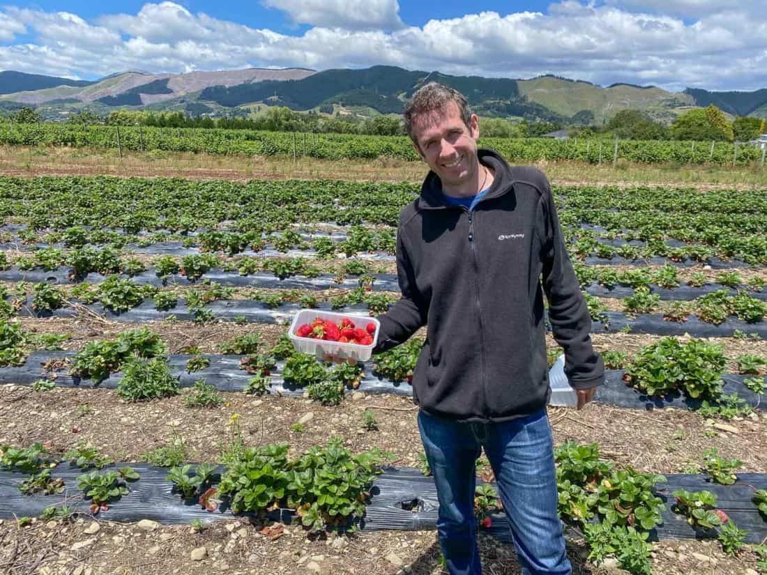 Picking strawberries at Berrylands farm near Nelson on the South Island