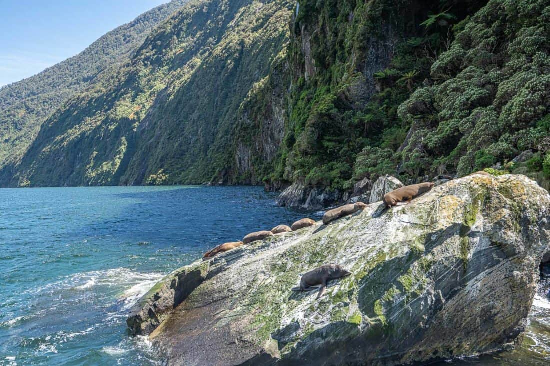Fur seals lying on a rock at Milford Sound