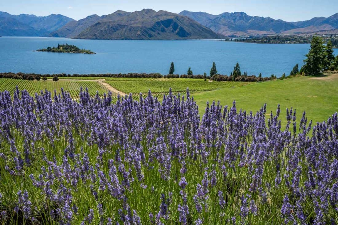The view from Rippon Winery of lavender, vines and Lake Wanaka