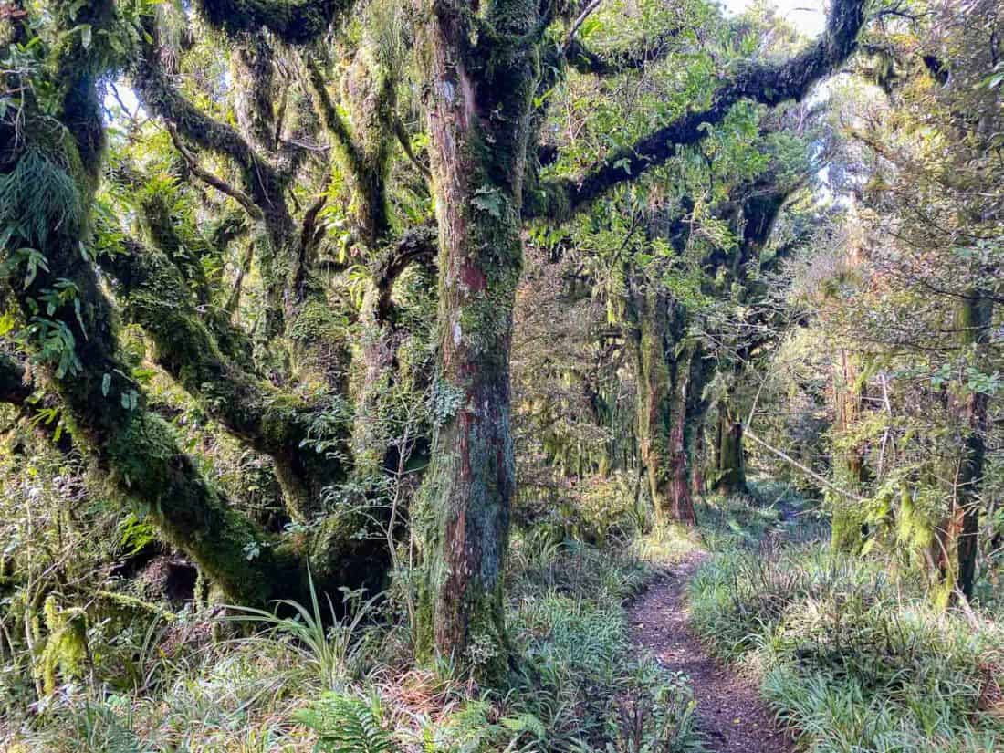 The mossy forest on the Enchanted Track in Egmont National Park, Taranaki