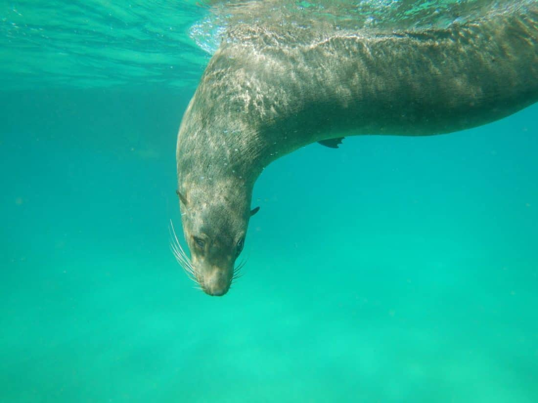Swimming with seals in Queenscliff on a Melbourne day trip
