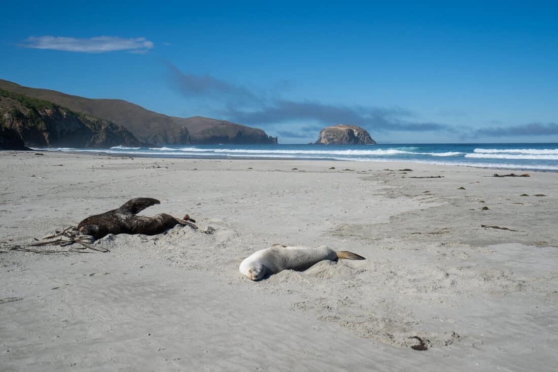 Sea lions on Allans Beach on the Otago Peninsula on the South island East Coast NZ