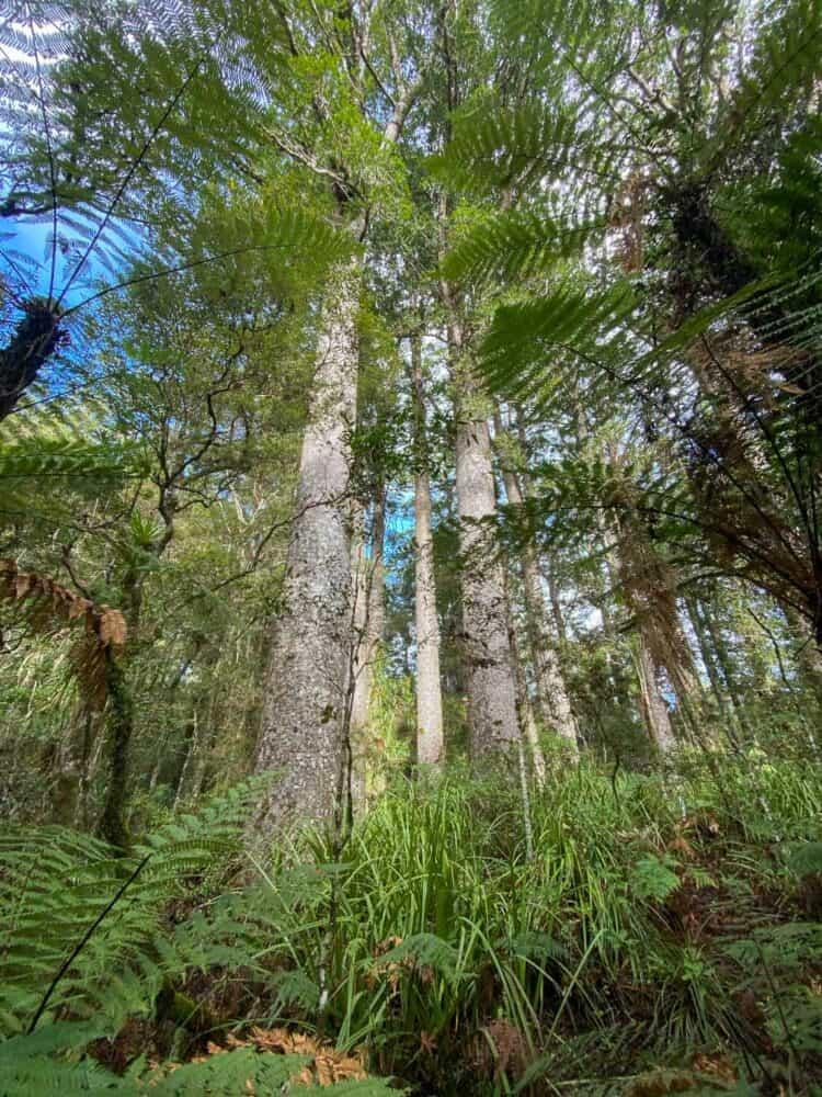 Kauri trees in Puketi Forest, Northland NZ
