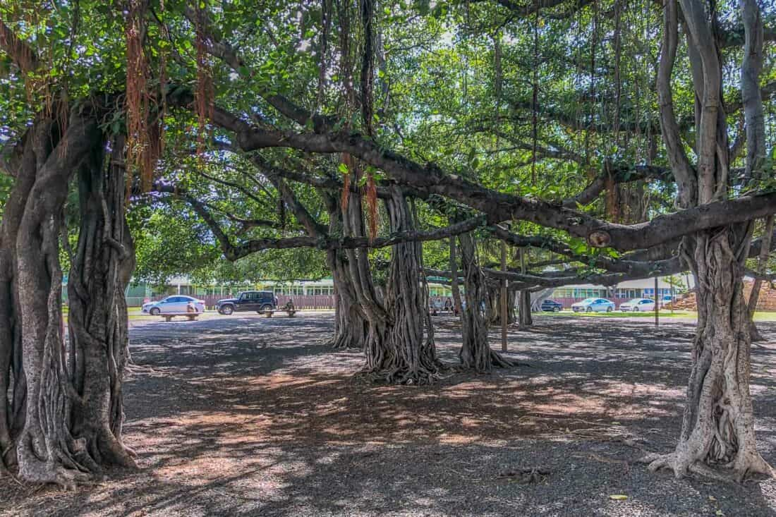 Banyan tree in Lahaina, one of the best places to visit in Maui