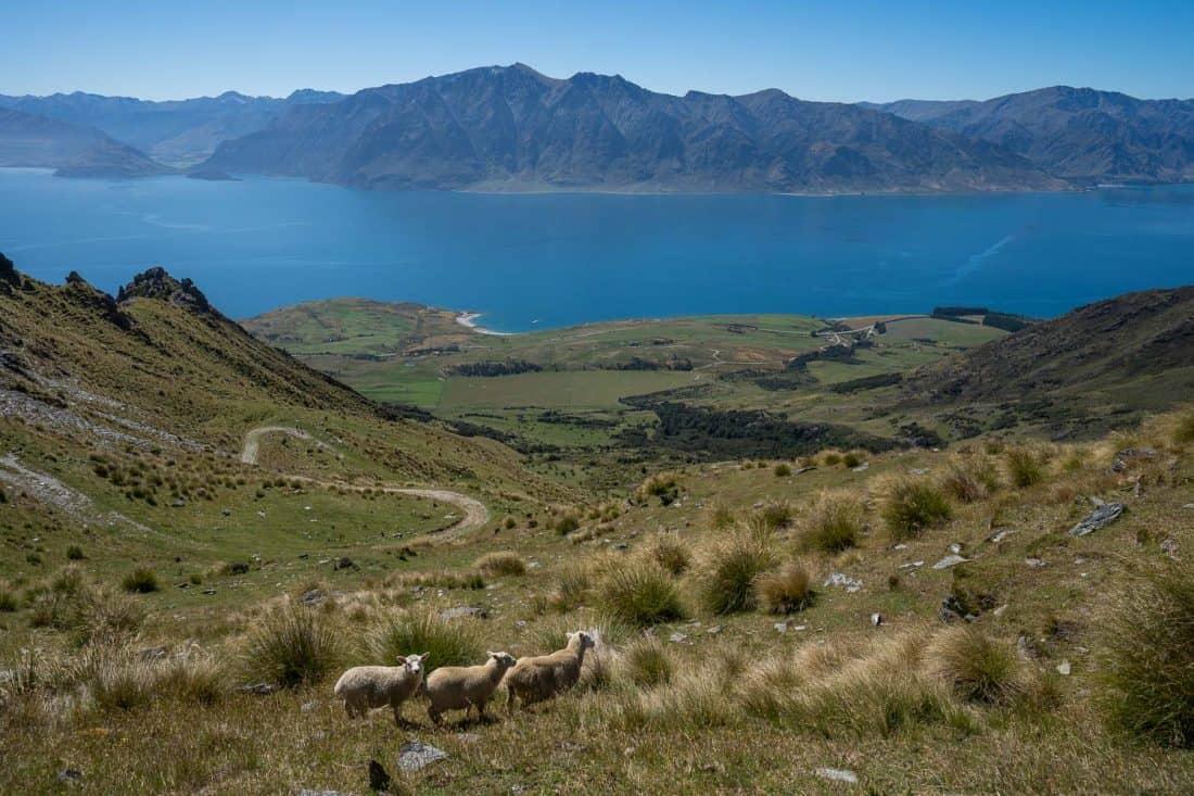 Sheep on the way down the Isthmus Peak Track overlooking Lake Hawea