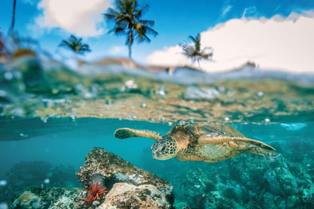 Turtles in Honolua Bay, Maui
